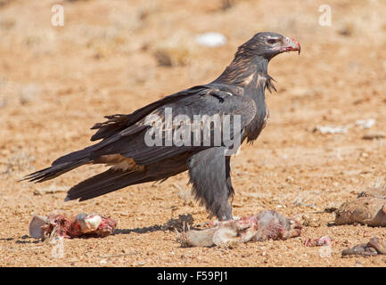 Majestic wedge-tailed eagle, Aquila audax, with blood on bill, feeding on remains of carcass of kangaroo in outback - Stock Photo