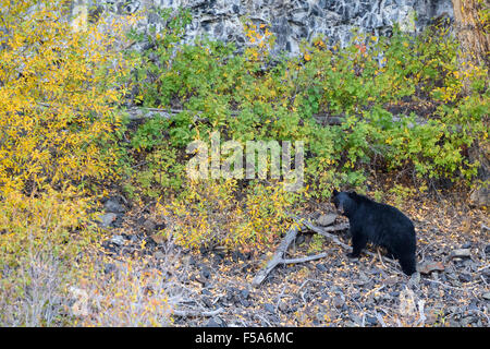 Black bear, Ursus americanus, Yellowstone National Park, Wyoming, USA - Stock Photo