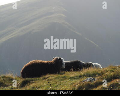 Sunlit Herdwick sheep on grassy hill fells above Borrowdale Cumbria  Lake District  with shadowy slopes in background - Stock Photo
