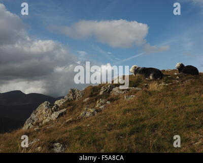 Herdwick sheep on sunlit rocky fells above Borrowdale Cumbria  Lake District  with shadowy hills and blue skies - Stock Photo