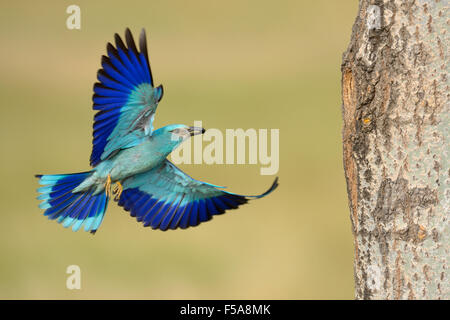 European roller (Coracias garrulus), approaching nesting hole with prey in beak, Kiskunság National Park, Hungary - Stock Photo