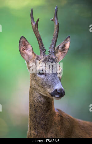 Roe deer (Capreolus capreolus) roebuck in summer coat, portrait, Kiskunság National Park, Hungary - Stock Photo