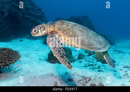 Green sea turtle (Chelonia mydas) swimming over sandy seabed in front of coral reef, Great Barrier Reef - Stock Photo