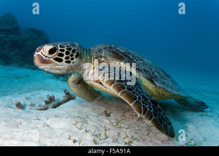Green sea turtle (Chelonia mydas) on sandy seabed, Great Barrier Reef, UNESCO World Heritage Site, Pacific, Australia