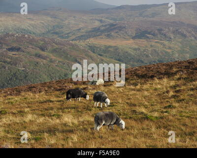 Herdwick sheep grazing on sunny rough grass fell above Borrowdale Cumbria  Lake District  with distant hills in - Stock Photo