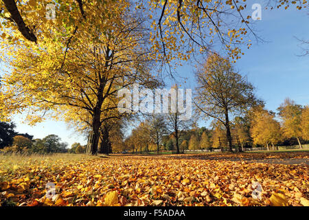 Bushy Park, SW London. 31st October 2015. Weather: On the Lime Avenue in Bushy Park the golden leaves look stunning - Stock Photo