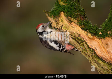 Middle spotted woodpecker, woodpeckers, Mittelspecht, Specht, Spechte, Leiopicus medius, Dendrocopos medius, Picoides - Stock Photo