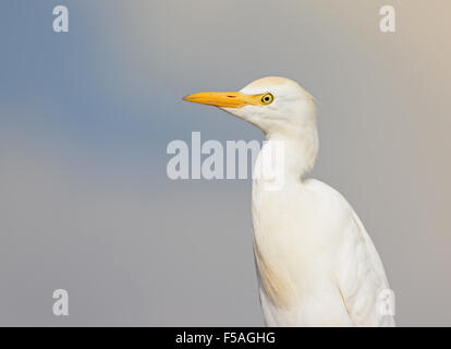 Cattle egret, Bubulcus ibis portrait - Stock Photo