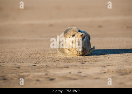 Grey Seal Pup  Halichoerus grypus   lying on sand at low tide - Stock Photo