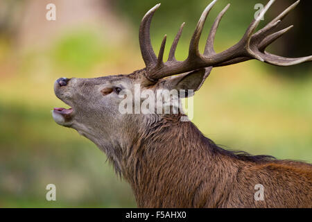 Red Deer Stag (Cervus elaphus)  bolving bellowing calling closeup headshot in profile - Stock Photo