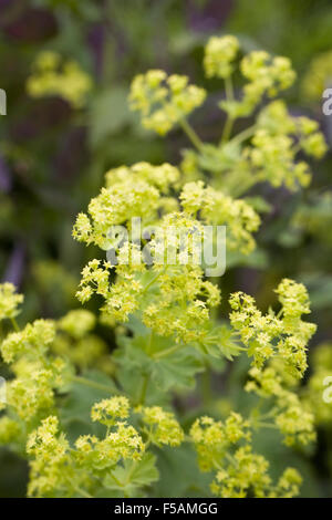 Alchemilla mollis. Lady's mantle flowering in an English garden. - Stock Photo