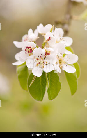 White pear inflorescence detail, blossoms twig macro, Pyrus tree vibrant efflorescence in April early spring season... - Stock Photo