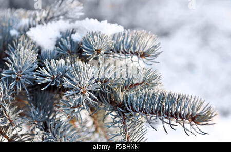 Christmas evergreen spruce tree with fresh snow - Stock Photo