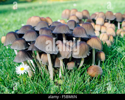 A clump of mycena aetites or drab bonnet mushrooms growing in a lawn - Stock Photo