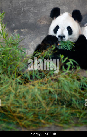 Giant Panda Bear in Shanghai, China. The panda (Ailuropoda melanoleuca, lit. 'black and white cat-foot'; dàxióngmāo, - Stock Photo
