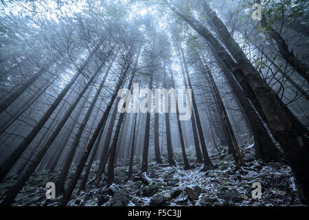 Scary and misty pine forest in the autumn time - Stock Photo