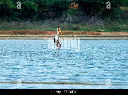 Painted stork in blue water - Stock Photo