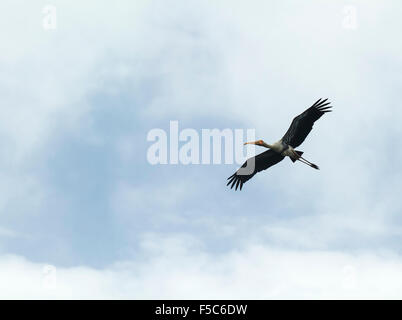Painted Stork flying in blue sky - Stock Photo