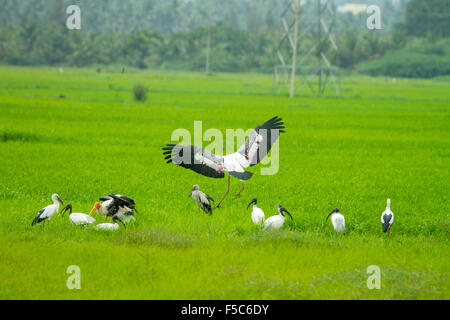 A group of painted storks and ibis in a green paddy field - Stock Photo