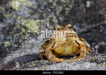 Common Frog (Rana temporaria) sitting on a stone - Stock Photo