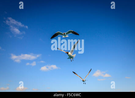 Three Laughing Gulls with sunny blue sky in the backdrop - Stock Photo