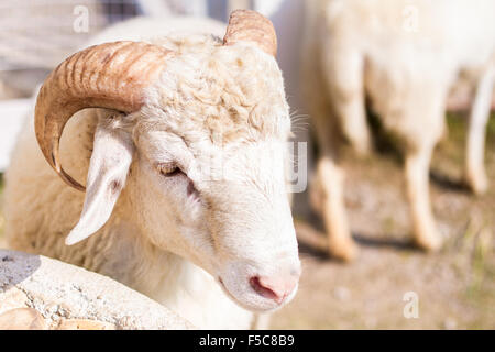 Goats and sheep in farm animals agriculture and nature .