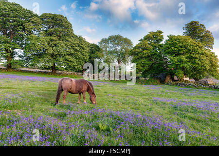 A Dartmoor pony grazing in a field of bluebells at Emsworthy on Darmoor National Park in Devon - Stock Photo