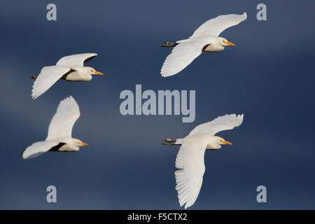Cattle Egret, Flock in flight, Campania, Italy (Bubulcus ibis) - Stock Photo
