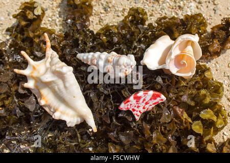 Decorative shells lying in the seaweed on the beach of Jolly Buoy Island Mahatma Ghandi National Marine Park - Stock Photo