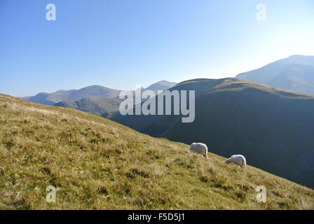 Sheep in Snowdonia, Wales