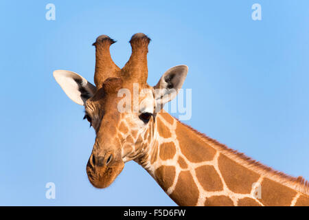 Reticulated giraffe or Somali giraffe (Giraffa reticulata camelopardalis), portrait, Samburu National Reserve, Kenya - Stock Photo