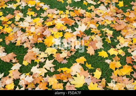 Acer cappadocicum 'Aureum' . Golden Cappadocian maple tree leaves on a lawn in autumn - Stock Photo