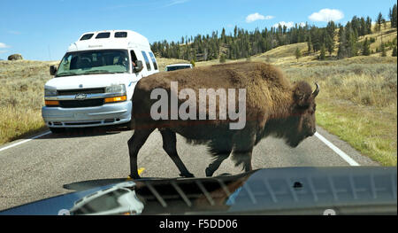 A large female American bison in Yellowstone National Park crossing the road in front of traffic. - Stock Photo