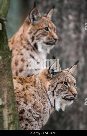 Close up of two Eurasian lynxes (Lynx lynx) in forest - Stock Photo