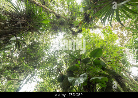 Looking up to the canopy of  humid cloudforest at 2,200m elevation on the Amazonian slopes of the Andes in Ecuador.