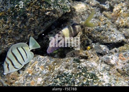 Convict tang, Acanthurus triostegus, and manybar goatfish, Parupeneus multifasciatus, Waiopae tide pools, Big Island, - Stock Photo