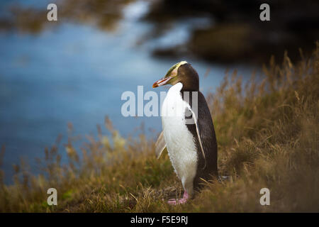 Yellow-eyed penguin (Megadyptes antipodes), Moeraki, South Island, New Zealand, Pacific - Stock Photo