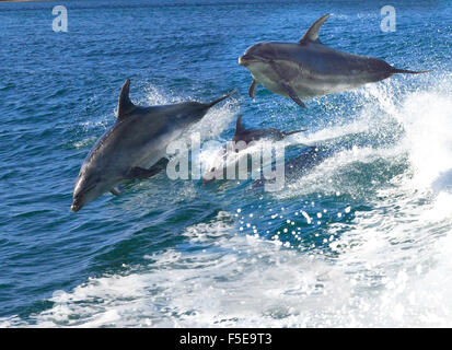 Playful bottlenose dolphins  who flock to the region playing in the  boats stern -wake Bay of Islands Northland - Stock Photo