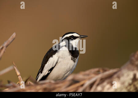 African pied wagtail (Motacilla aguimp), Kruger National Park, South Africa, Africa - Stock Photo