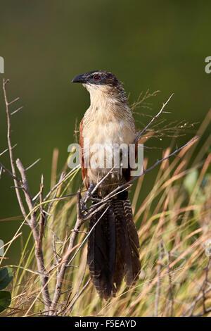 Burchell's coucal (Centropus burchellii), Kruger National Park, South Africa, Africa - Stock Photo