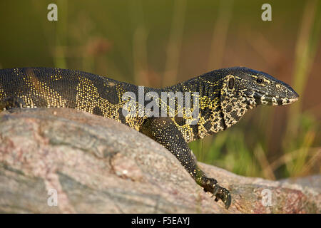 Water monitor (Varanus niloticus), Kruger National Park, South Africa, Africa - Stock Photo