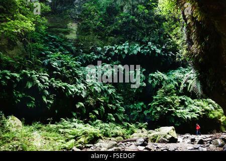 Laurel forest, Los Tilos Biosphere Reserve, La Palma, Canary Islands, Spain, Europe - Stock Photo