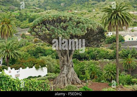 El Drago Milenario (Thousand-Year-Old Dragon Tree), Icod de los Vinos, Tenerife, Canary Islands, Spain, Europe - Stock Photo
