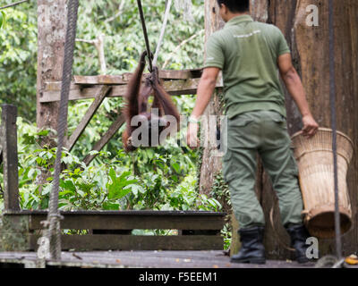 Orangutans at the Orangutan sanctuary in Sepilok, in Malaysian Borneo - Stock Photo