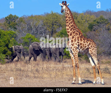 Giraffe and herd of elephants, South Africa - Stock Photo