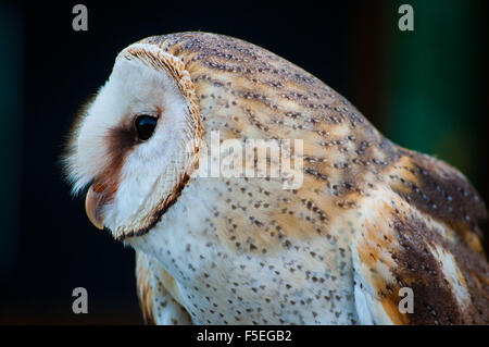 Portrait of a Barn Owl, South Africa - Stock Photo