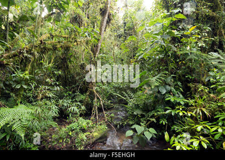 Stream in humid cloudforest at 2,200m elevation on the Amazonian slopes of the Andes in Ecuador