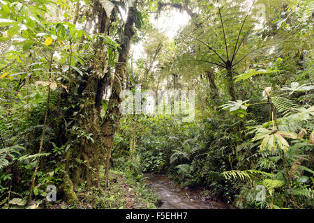 Humid cloudforest at 2,200m elevation on the Amazonian slopes of the Andes in Ecuador, Tree fern and stream.
