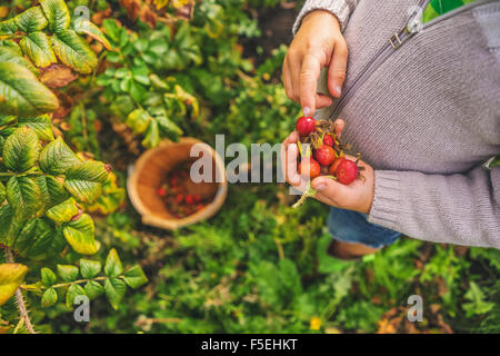 Elevated view of a boy picking rosehips - Stock Photo