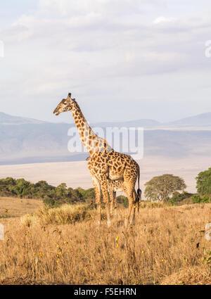 Giraffe on the rim of the Ngorongoro Crater in Tanzania, Africa, at sunset. - Stock Photo